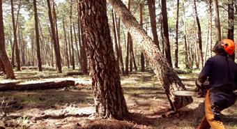 pino cayendo en el monte de soria