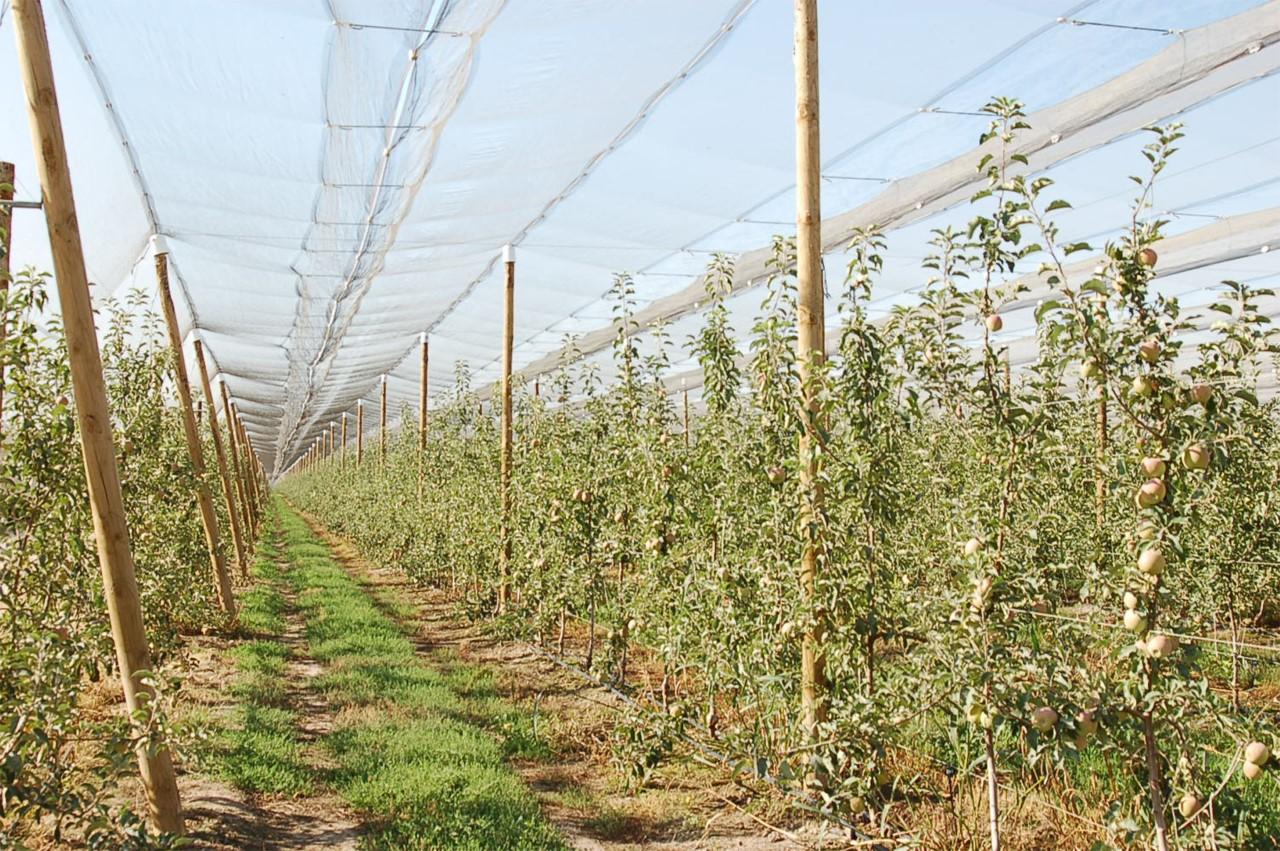 Nufri protegerá sus manzanos con 42.000 postes de madera producidos por la empresa soriana Amatex